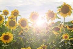 向日葵在与晴朗的热点的一个生态上干净的区域开花 免版税图库摄影