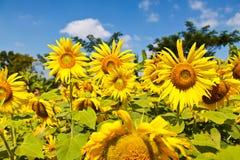 向日葵在农场 免版税库存照片