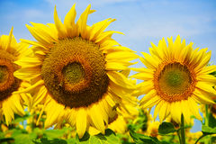 向日葵在南法国 免版税库存照片