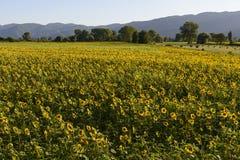 向日葵在圣洁谷#11,意大利列蒂调遣 库存图片