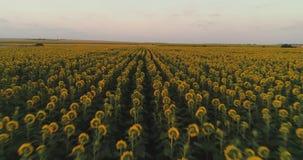 向日葵在夏天日落的领域背景 从黄色向日葵寄生虫的鸟瞰图调遣 股票视频