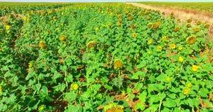 向日葵在好日子-花卉ladscape 股票视频