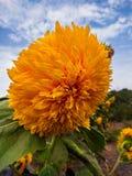 向日葵在庭院里有蓝天和云彩背景 库存照片