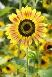 向日葵在庭院001里 库存图片