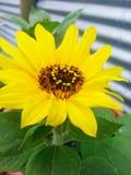 向日葵在我的后院 图库摄影