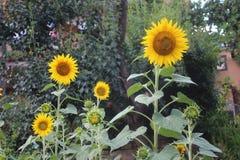 向日葵在我的有机庭院里 图库摄影