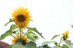 向日葵在房子版本2的前面庭院里 库存图片