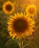 向日葵在托斯卡纳 库存照片