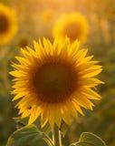 向日葵在托斯卡纳 免版税库存照片
