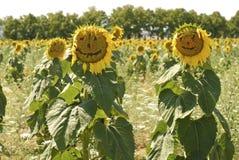 向日葵在托斯卡纳 库存图片