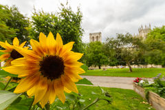 向日葵在教务长` s公园,有约克大教堂的约克在背景中 库存图片