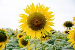 向日葵在明亮的天气、蓝天和晴天中 免版税库存图片