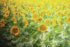 向日葵在明亮的阳光下 免版税库存图片