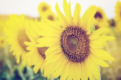 向日葵在有软的焦点的庭院里 免版税库存图片