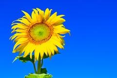 向日葵在泰国 免版税库存图片