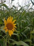 向日葵在玉米田 图库摄影