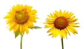 向日葵在白色背景中 免版税图库摄影