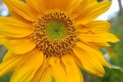 向日葵在自然绿色背景中 图库摄影