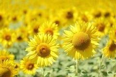 向日葵在草甸 库存图片