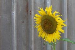 向日葵在金属板 库存照片