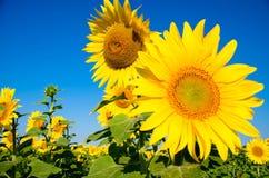 向日葵在阳光下 图库摄影