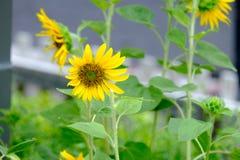 向日葵在领域被种植 免版税库存照片