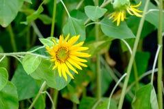 向日葵在领域被种植 库存照片