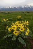 向日葵在黑尾巴池塘,大蒂顿国家公园 图库摄影