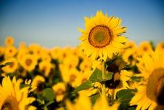 向日葵在晴朗的天气的一个领域增长 库存图片