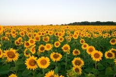 向日葵在晴朗的天气的一个领域增长 免版税库存照片