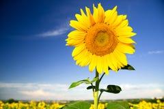 向日葵在晴朗的天气的一个领域增长 库存照片