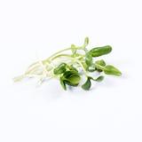 向日葵堆发芽,在白色背景的微绿色 新鲜的庭院的健康吃概念有机生产 库存图片