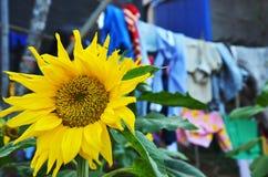 向日葵对 洗衣店 库存图片
