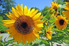 向日葵庭院 库存图片