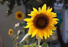 向日葵开花在植物园的农业植物群 免版税库存图片