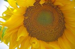 向日葵开花极端特写镜头有醒目的坛场样式的在中心 免版税库存图片
