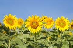 向日葵开花的背景 免版税库存图片