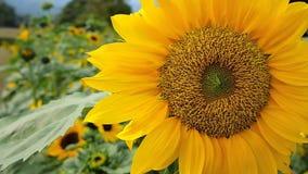 向日葵开花的自然本底 影视素材