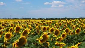 向日葵开花的领域录影  影视素材