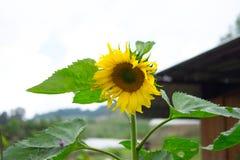 向日葵开花 库存照片