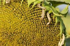 向日葵或向日葵一个头特写镜头与生长在向日葵领域的种子 库存图片