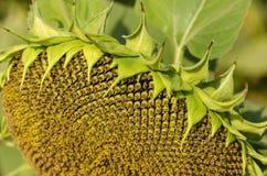 向日葵或向日葵一个头特写镜头与生长在向日葵领域的种子 免版税图库摄影