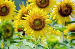 向日葵或向日葵在农场 免版税库存照片