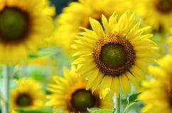 向日葵或向日葵在农场 免版税库存图片