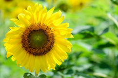 向日葵或向日葵在农场 库存图片