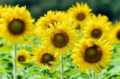 向日葵或向日葵在农场 图库摄影