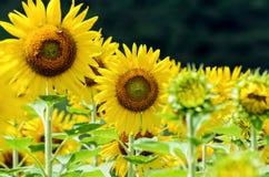 向日葵或向日葵在农场 库存照片