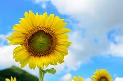 向日葵或向日葵在天空背景 库存照片