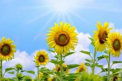 向日葵或向日葵在天空背景 免版税库存照片