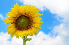 向日葵或向日葵在天空背景 图库摄影